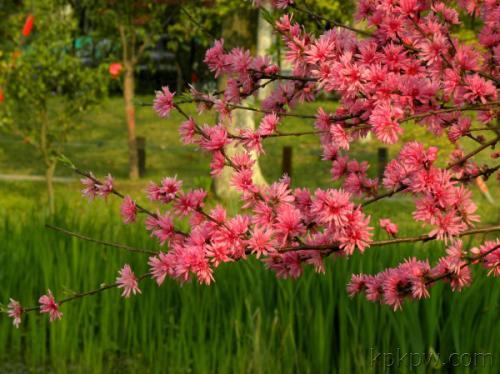 福州:国家森林公园可观赏珍稀品种菊花桃