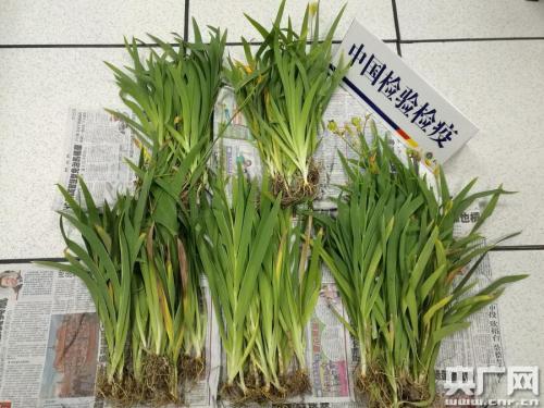 荷兰寄往包头进境邮件中首次截获仙人掌科植物7株