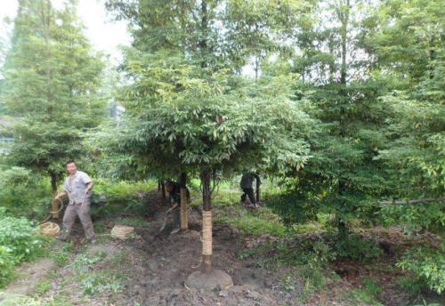 江西:宜丰发现野生金丝楠木种群落达81.85万平方米