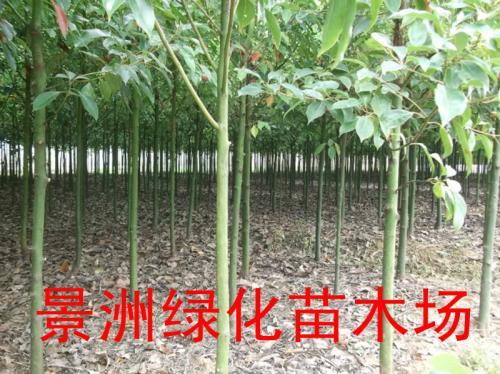 江苏香樟树种子价格表,较新香樟树种子价格查询-2017年5月13日