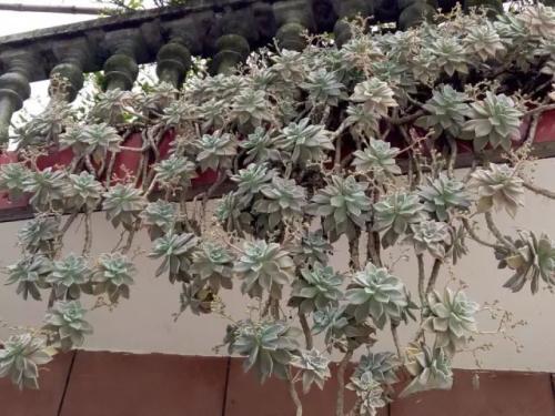 景天科的多肉植物 都可以这样来栽种