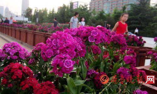 山东:石竹花首次现身济南泉城广场