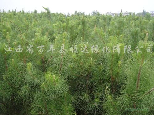 江西造林湿地松价格表,较新造林湿地松价格查询-2017年6月21日