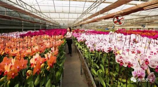 中国:介质蝴蝶兰首出口美给企业带来30%的利润提升空间