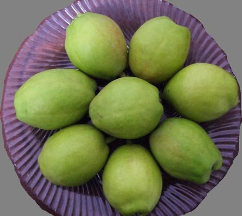 5斤重金秋香梨、金秋香梨树苗批发价格