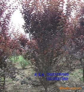 供应河北 金叶榆、榆树、金叶槐、紫叶李、等