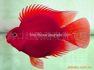 供应血鹦鹉观赏鱼