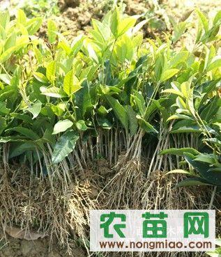 万信基地低价供应优质桂花树苗、桂花小苗