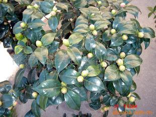 茶花,赤丹茶花,福建花卉,漳平永福花卉
