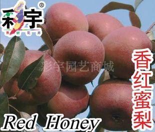 供应香红蜜梨树梨苗,果树,果苗,花卉,花卉苗