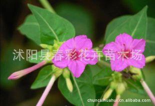 紫茉莉种子粉_{春彩花卉供应,草花。紫茉莉.草茉莉、胭脂花、地雷花、粉豆花 ...