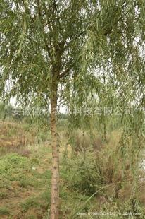 供应金丝垂柳公园园林绿化苗圃基地地径9公分米径8公分