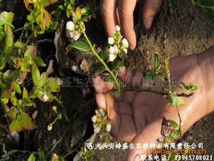 蓝莓种苗(大兴安岭)