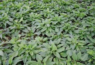 紫花地丁—蒙草抗旱绿化苗木—地被类—耐寒耐旱