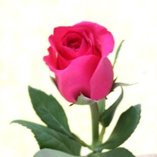超级桃红玫瑰云南昆明斗南鲜切花优质批发鲜花批发