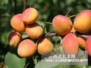山西苗木基地提供仁用杏苗木出售仁用杏苗木