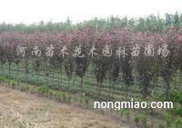 供应广玉兰、石楠、紫薇、金叶女贞、红叶李、河南桧