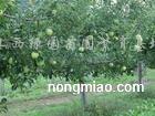 供应苹果树