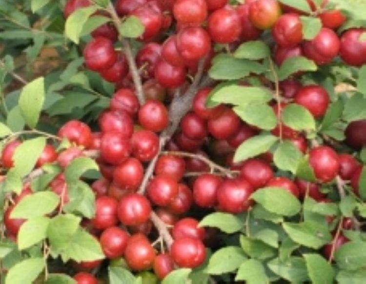 钙果苗产地 中华钙果苗最新品种