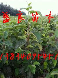 山西红富士苹果苗、山西嫁接苹果苗