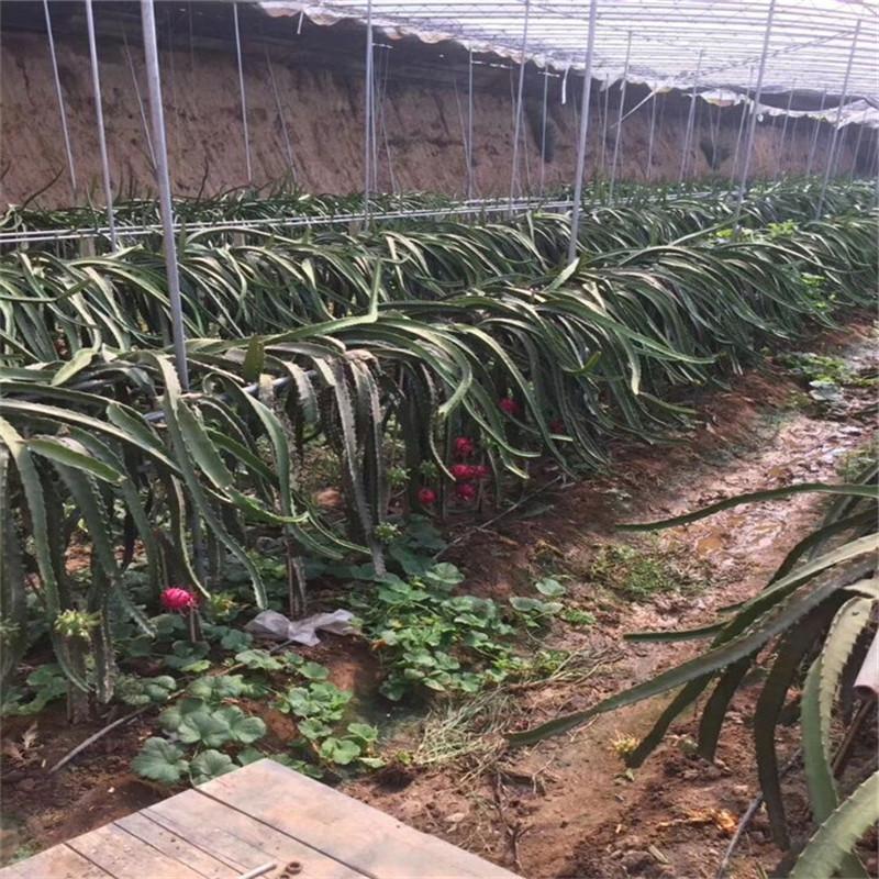 活龙果苗 哪里有火龙果苗 火龙果栽培技术