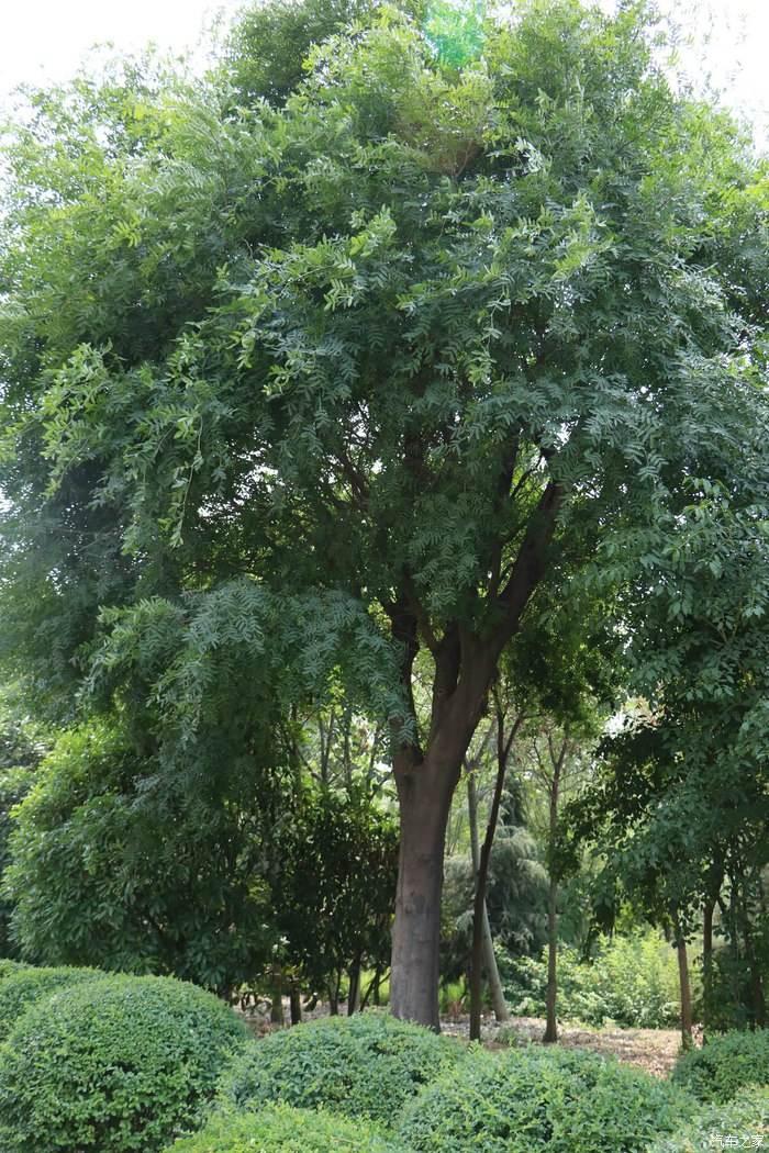供应皂荚树优产优质 批发价