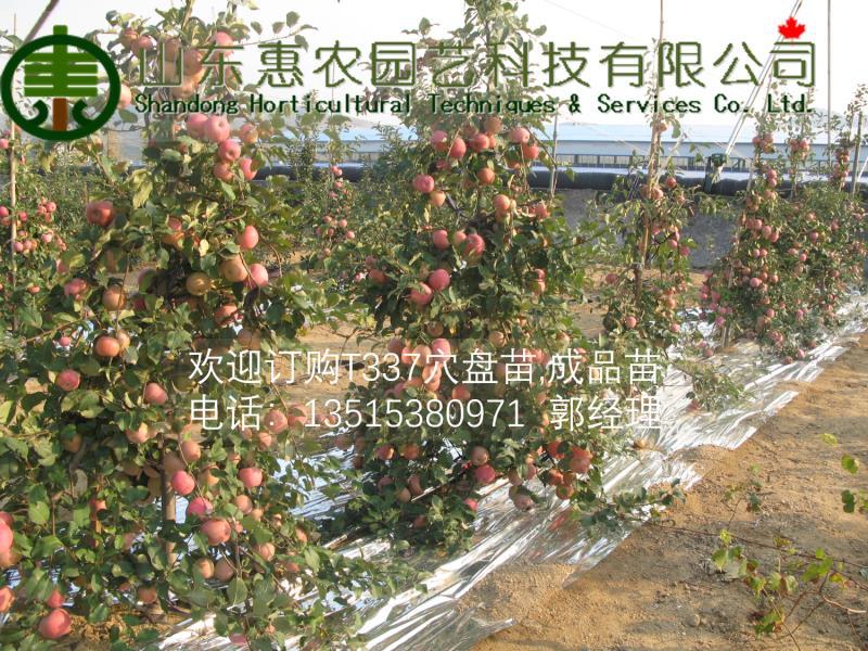 供应矮化自根砧木M9-T337苹果苗