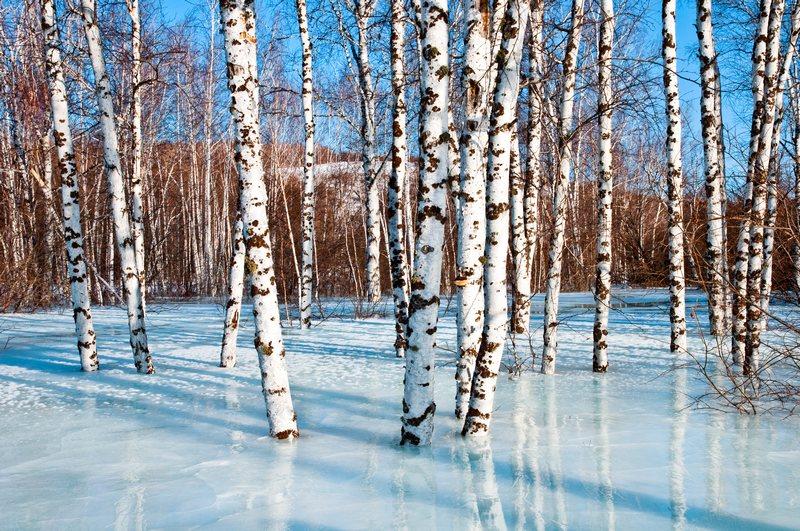 今年新�� 白桦种子 当年新货 白桦树籽