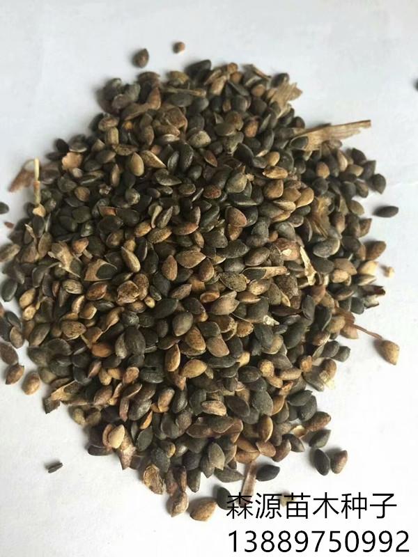 樟子松种子批发价格多少钱