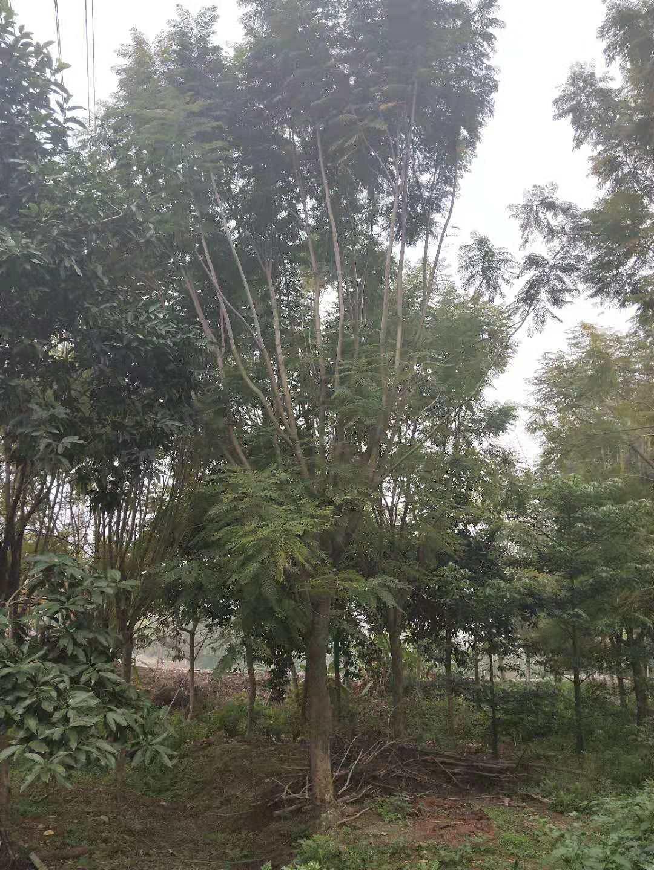 风景树供应规格齐全蓝花楹苗木