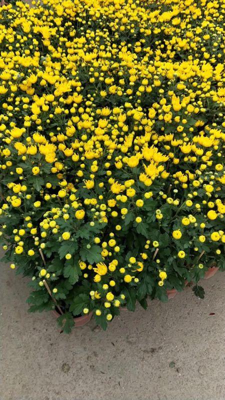 市政绿化工程用地被花卉万寿菊常年大量供应