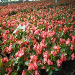 园林绿化观花植物四季秋海棠常年大量供应