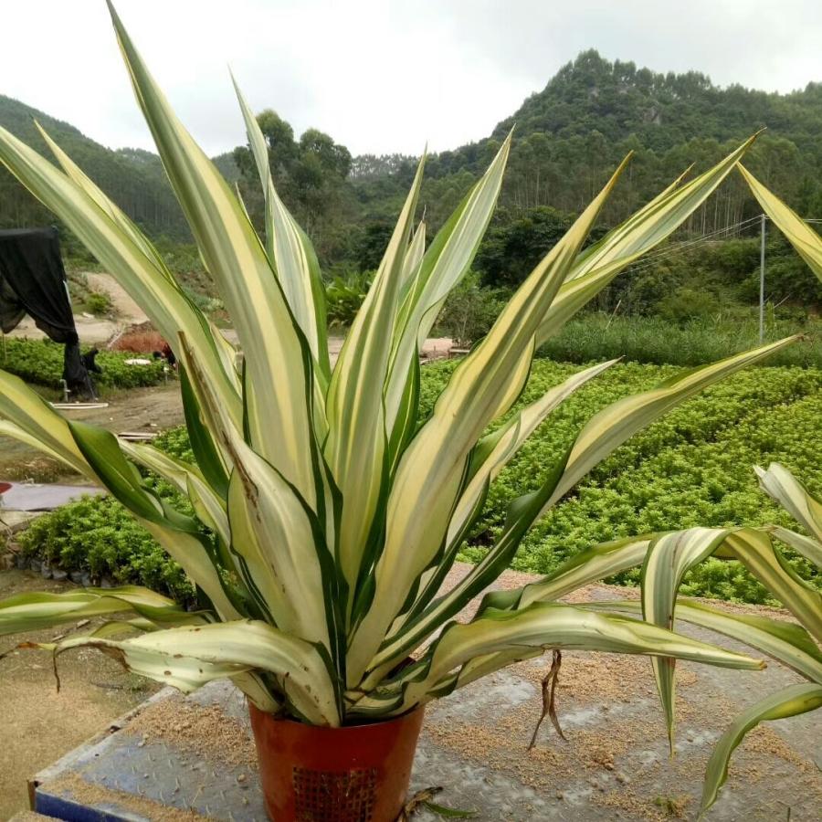 厂家直销优质盆栽室内植物万年麻 规格齐全