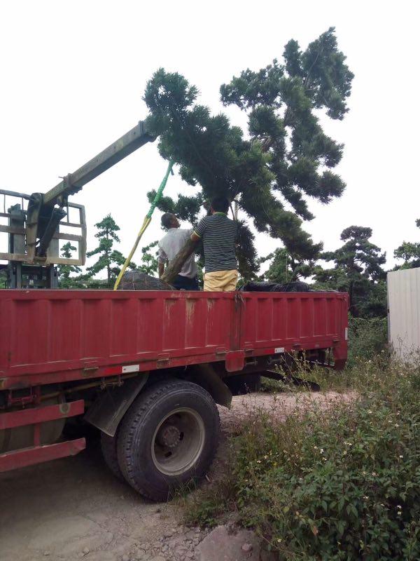 长期批发四季常青大型园林绿化树罗汉松
