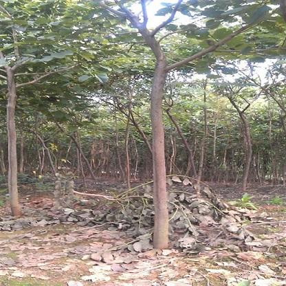 四季庭园绿化树洋紫荆各种规格长期供应