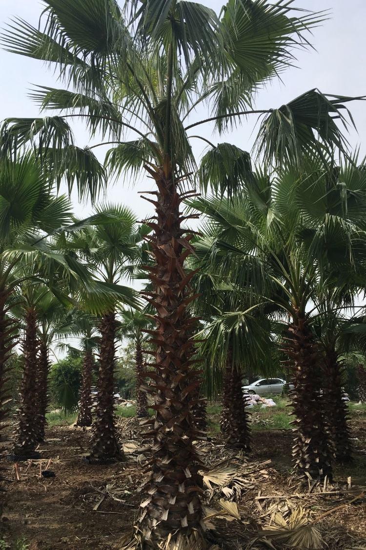 苗木种植基地大量批发供应老人葵规格齐全