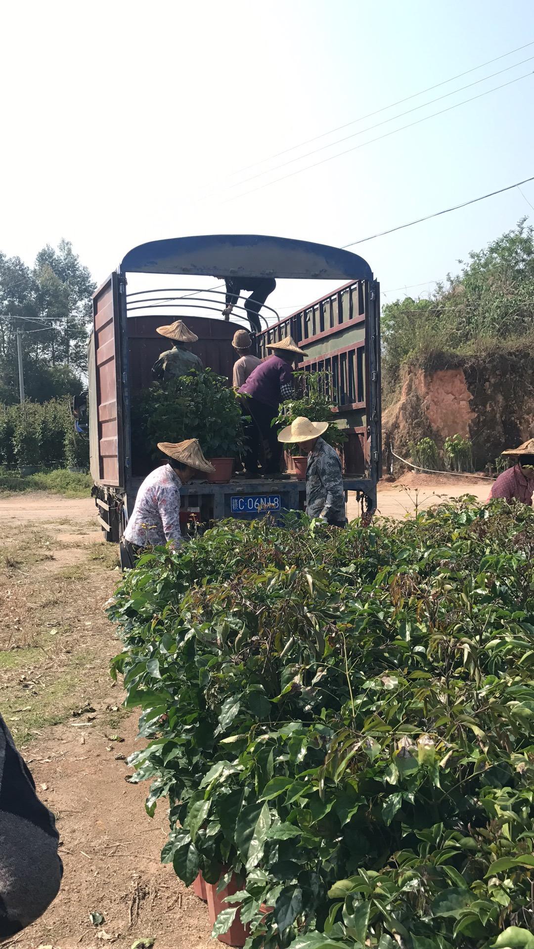 厂家直销优质观赏盆栽绿宝多规格大量供应