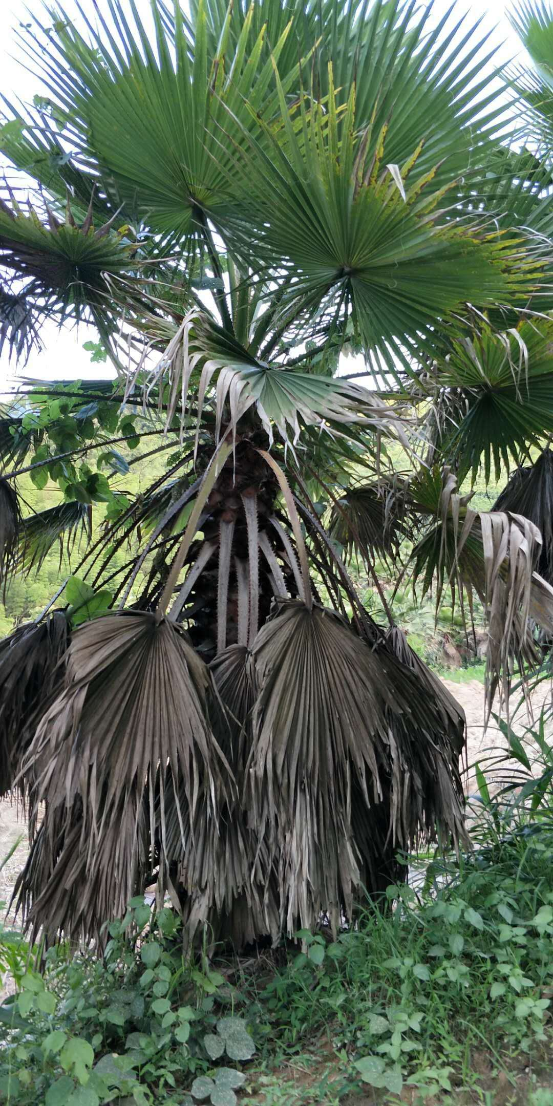 常年大量供应风景热带树老人葵规格齐全