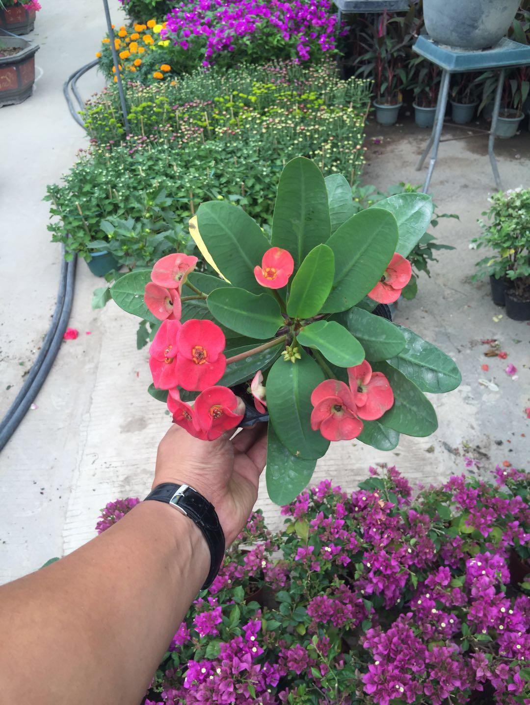 苗圃批发供应桌面盆栽花卉虎刺梅 不带盆