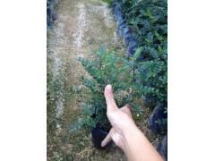 基地直销小区绿化工程苗木胡椒木