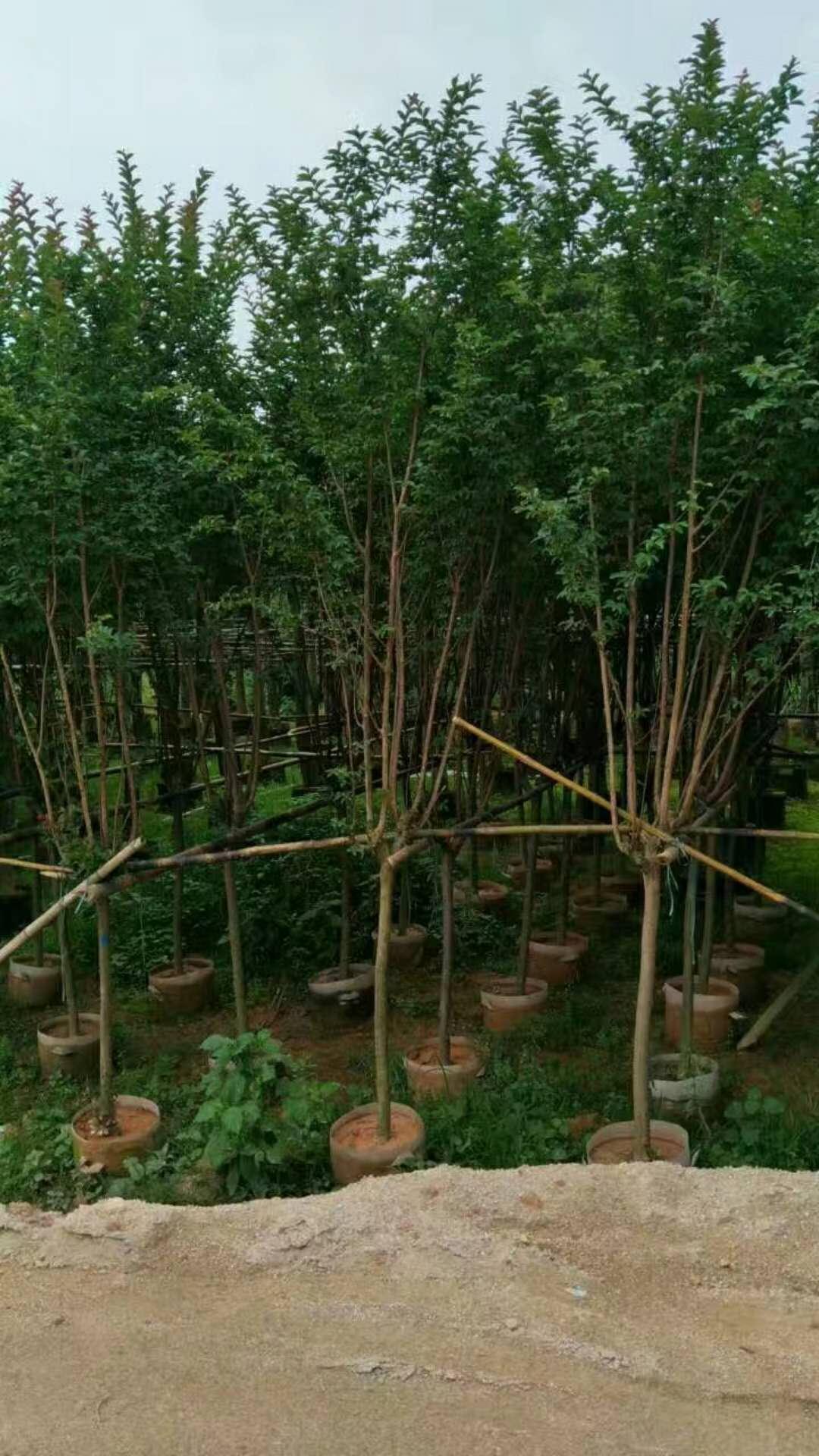 中山园林绿化基地供应规格齐全小叶紫薇
