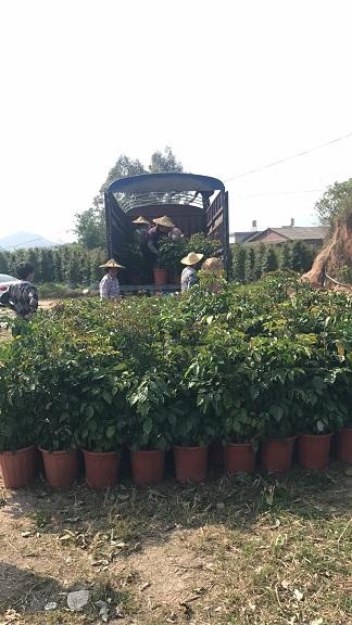 客厅办公室大型盆栽绿宝大量批发供应