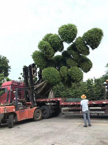 漳州产地直销优质造型小叶榕 规格齐全