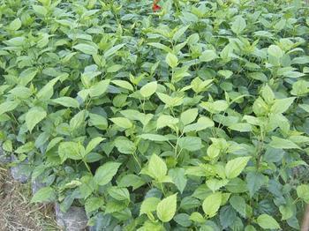 多规格大量供应盆栽花卉重瓣扶桑