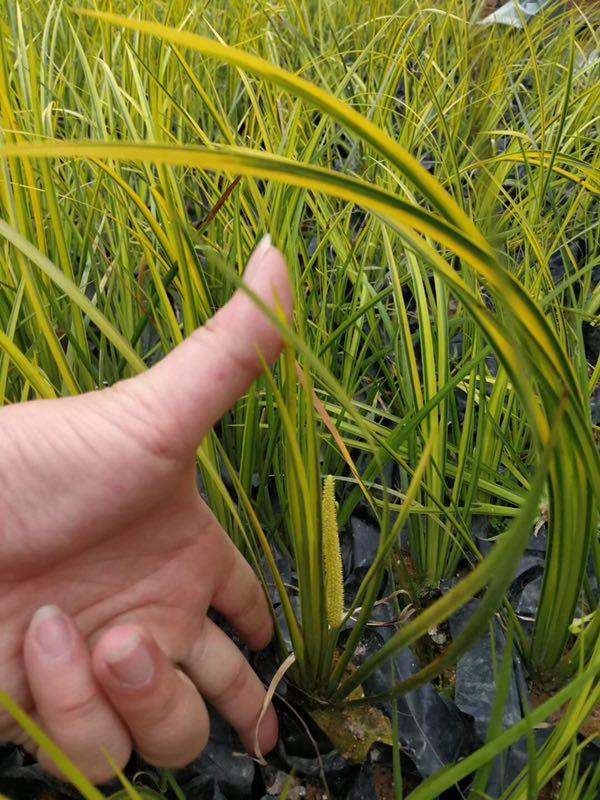 绿化工程地被苗金叶石菖蒲长期特价供应