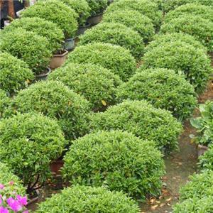 大量批发供应庭园观叶盆栽非洲茉莉球