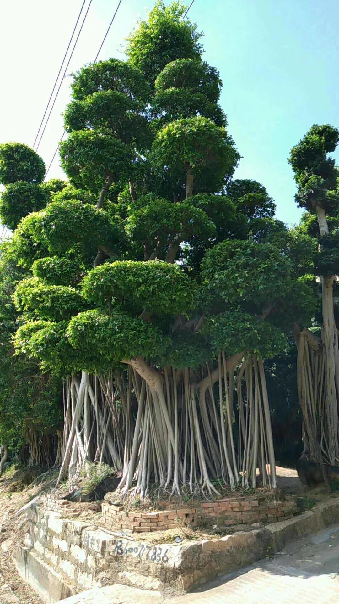 农户直销造型盆景造型小叶榕 规格齐全