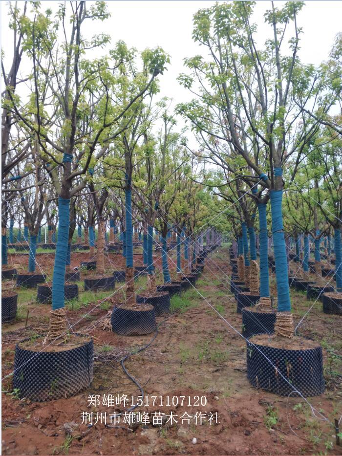 供应14-40公分全冠容器苗移植香樟