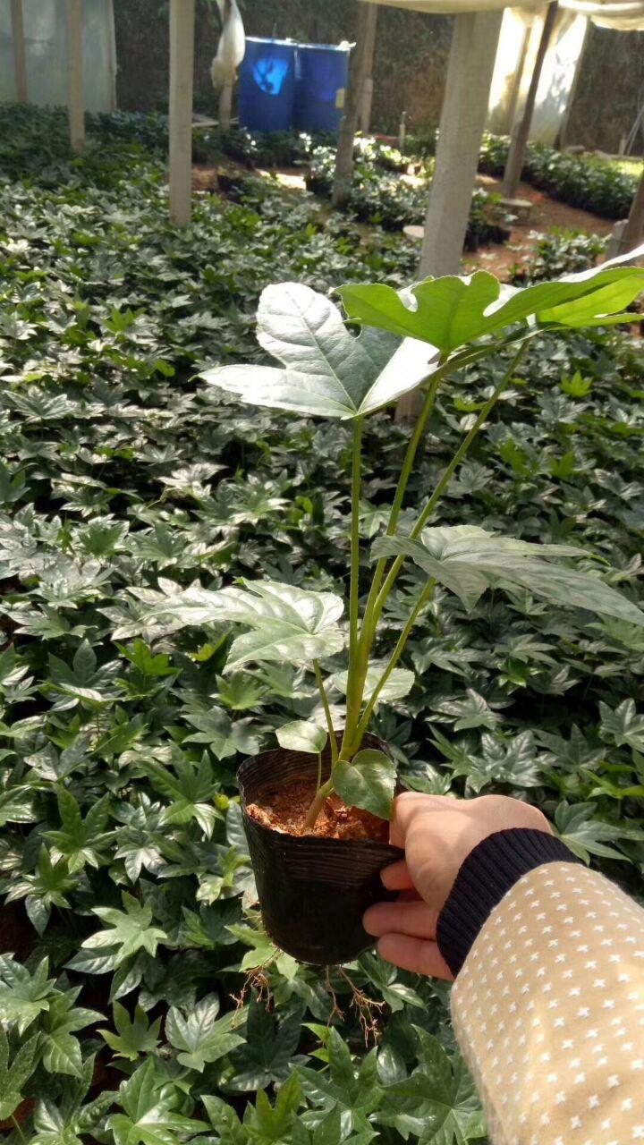 常年大量供应室内外盆栽观叶绿植八角金盘