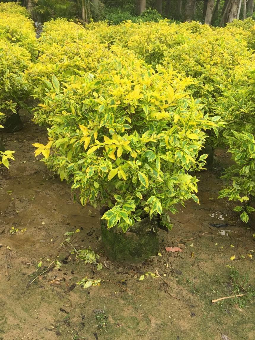 晋江市长期大量供应园艺绿化扶桑球